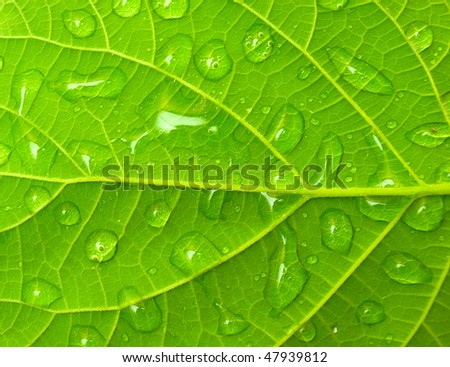 The green leafs with drops