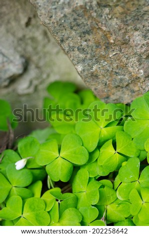 The Green shamrock Plant on a stone wall background - stock photo
