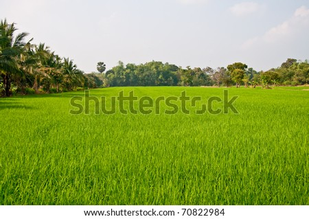 The Green young rice in the field rice - stock photo