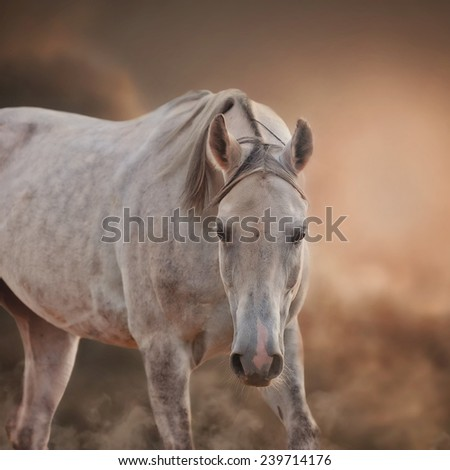 The Grey Arabian Horse portrait on light brown dusty sky background - stock photo