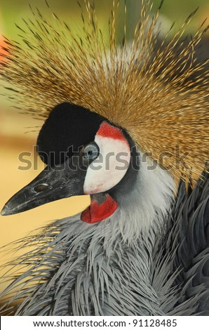 the grey crowned crane (balearica regulorum) otherwise known as the great crested crane. Detail of head and superb crest. From tropical Africa, and the national bird of Uganda