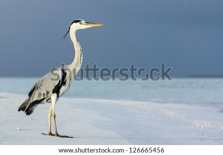 The Grey Heron is a large bird, standing 1 m tall, and it has a 1.5 m wingspan. Shot in early morning at a Maldivian beach. Maldives - stock photo
