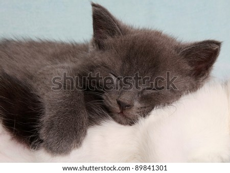 The grey kitten sleeps