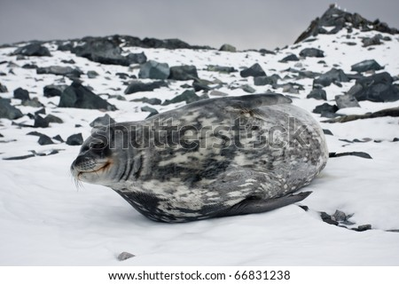 The grey seal has a rest on stones in Antarctica - stock photo