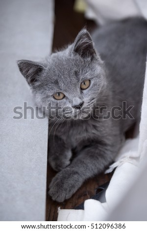 The grey shorthair kitten