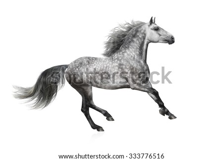The grey stallion of the Andalusian breed gallops on white background - stock photo