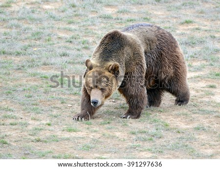 The Grizzly Bear, while on the California state flag, has been extirpated from the state and lives only in select areas in the United States including limited areas in the Rocky Mountains and Alaska - stock photo