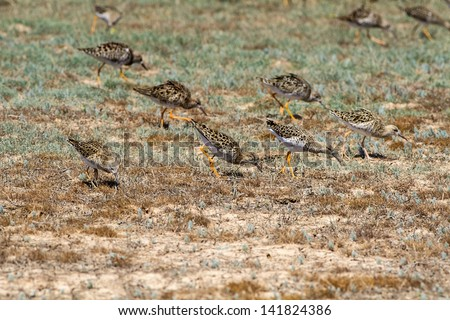 The group of sandpipers eats on the bank of the lake