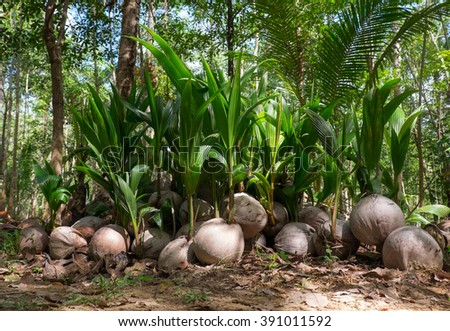 The growing shoots of coconut palms in the rainforest - stock photo