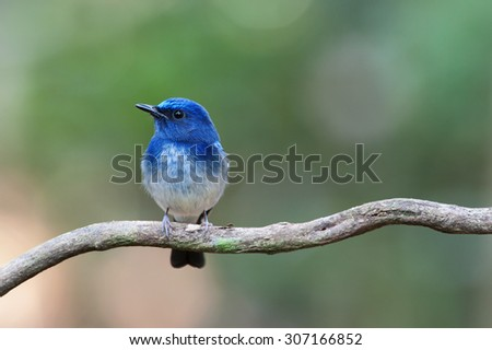 The Hainan blue flycatcher (Cyornis hainanus) is a species of bird in the Muscicapidae family. It is found in Cambodia, China, Hong Kong, Laos, Myanmar, Thailand, and Vietnam. - stock photo