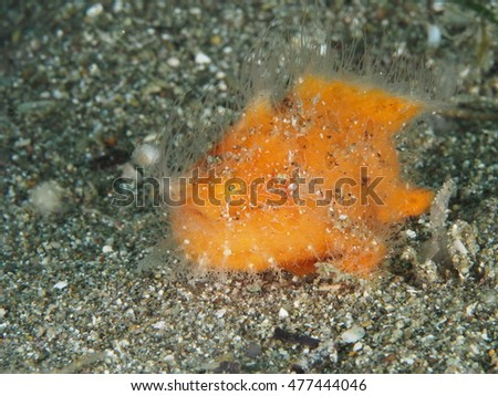 The hairy frogfish is a marine fish belonging to the family Antennariidae