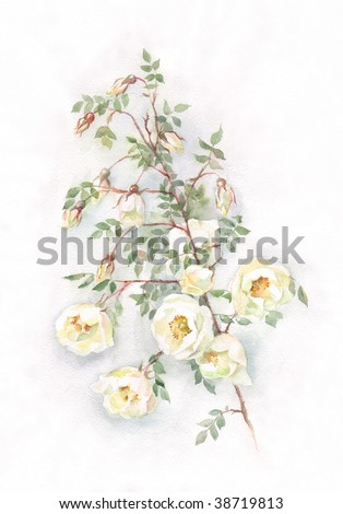 The hand painted watercolor of wild white roses. - stock photo
