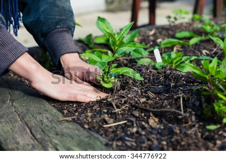 The hands of a young female gardener planting  some small plants in a garden