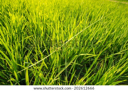 The harmony to survive of weed over the rice field - stock photo