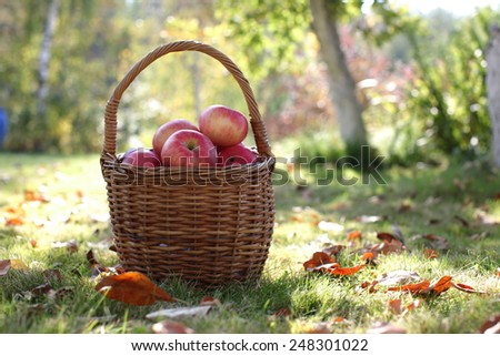 The Harvest, apples in basket - stock photo