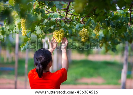the  Harvesting Grapes in the Vineyard - stock photo