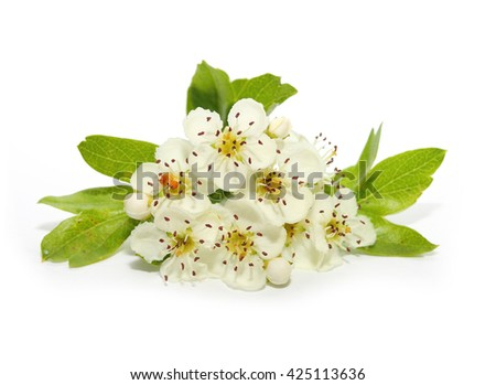 The Hawthorn (Crataegus oxyacantha) flower. The total complex of plant constituents is considered valuable as a remedy for those with circulatory and cardiac problems. - stock photo