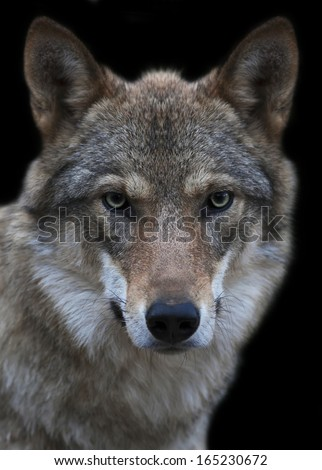 The head and neck of a young, two year old, european wolf female. Face portrait of the forest dangerous beast, Canis lupus lupus, isolated on green background. Beauty of the wildlife. - stock photo