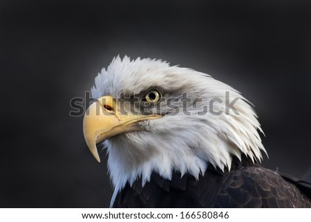 The head and shoulder of a bald eagle, haliaeetus leucocephalus, on dark background. The American eagle, US national character, very beautiful bird with proud expression. - stock photo