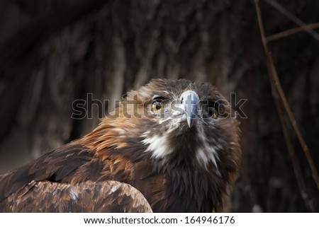 The head and shoulder of a golden eagle, Aquila chrysaetos, on dark forest background. Portrait of an erne or war eagle, the biggest eagle of the world and very beautiful bird. - stock photo
