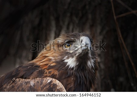 The head and shoulder of a golden eagle, Aquila chrysaetos, on dark wood background. Portrait of an erne or war eagle, the biggest eagle of the world and very beautiful bird.