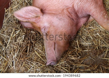 The Head and Shoulders of a Large Sleeping Pig. - stock photo