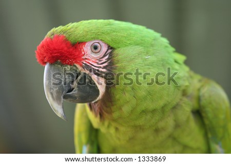 The head of a buffon macaw (great green macaw).
