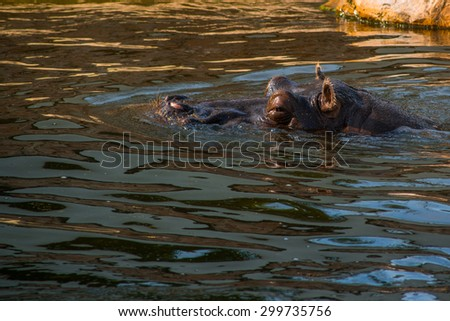 The head of a hippopotamus floating in water - stock photo