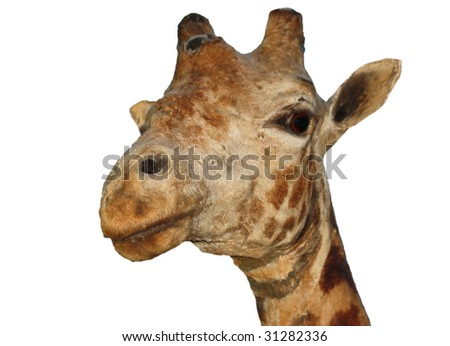 The Head of a Large Giraffe.