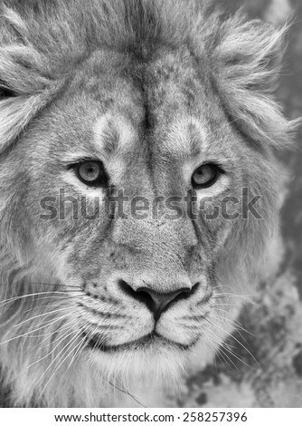 The head of a lion with snowflakes on his forehead. The young Asian lion on snow background. Winter cold is not bad weather for the King of beasts. Beauty of the wild nature. - stock photo