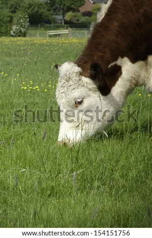 The head of a pedigree Hereford cow grazing in a grassy field of buttercups
