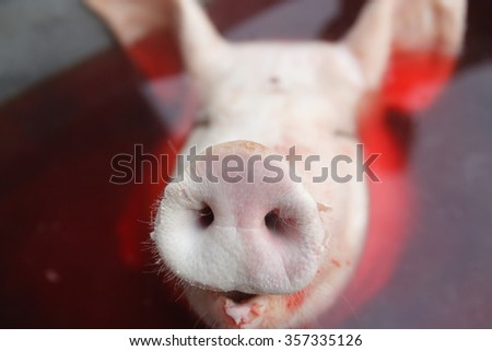 The head of a pig, focus on the snout (Shallow DOF). - stock photo