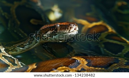 the head of a snake being in water ( Boa constrictor ) - stock photo
