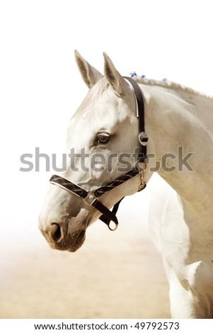 The head of elegant light grey horse - stock photo