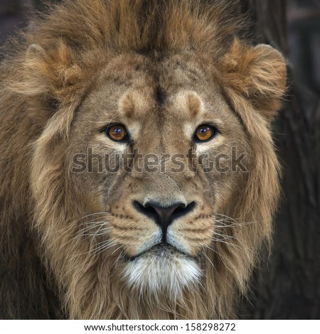 The head with mane of an Asian lion. The King of beasts, biggest cat of the world, looking straight into the camera. The most dangerous and mighty predator of the world. Wild beauty of the nature. - stock photo