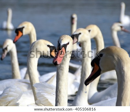 The heads of swans - stock photo