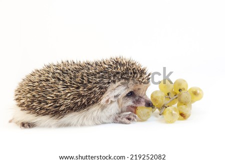 The hedgehog eats grapes - stock photo