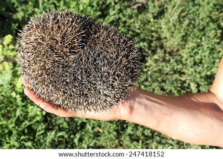 The hedgehog who curled up a ball in a male hand outdoors - stock photo