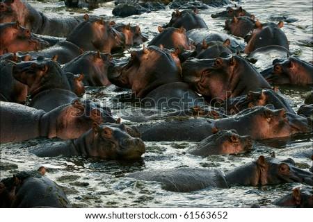 The herd of hippopotamuses bathes. The big herd of hippopotamuses bathes in a close pond with rocky coast in the evening. - stock photo