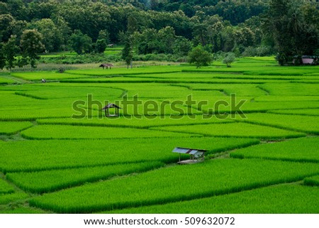 The hidden gem ,the green young rice field during rainy season in Thailand