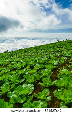 The highest cabbage garden in Thailand with the sea of mist background : at phu tub berk Thailand - stock photo