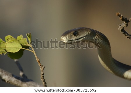 The highly venomous Vine or Bird Snake inflating its throat in defense.  - stock photo