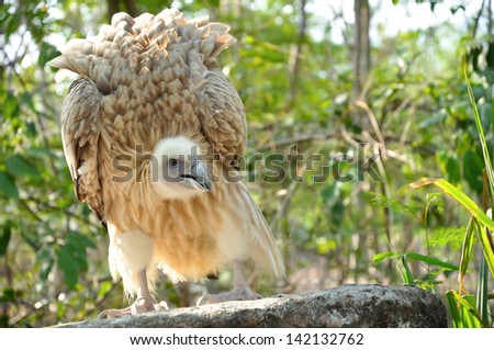 The Himalayan Vulture or Himalayan Griffon Vulture is an Old World vulture