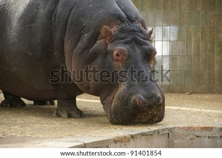 The hippopotamus (Hippopotamus amphibius), Barcelona Zoo - stock photo