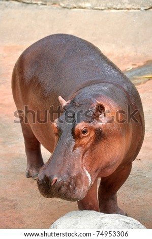 The hippopotamus is semi-aquatic, inhabiting rivers and lakes where territorial bulls preside over a stretch of river and groups of 5 to 30 females and young. - stock photo
