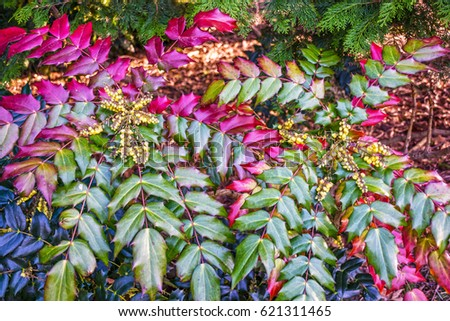 Holly like leaves fragrant yellow flowers stock photo edit now the holly like leaves and fragrant yellow flowers of the oregon grape holly mahonia mightylinksfo