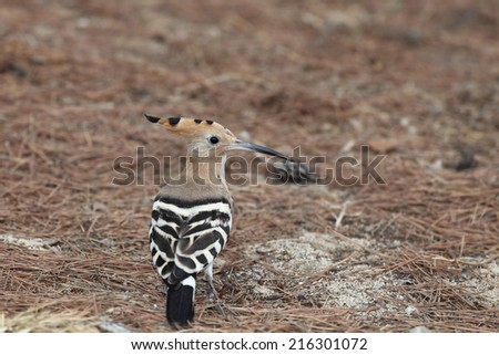 "The hoopoe (Upupa epops) is a colourful bird found across Afro-Eurasia, notable for its distinctive ""crown"" of feathers. It is the only extant species in the family Upupidae."