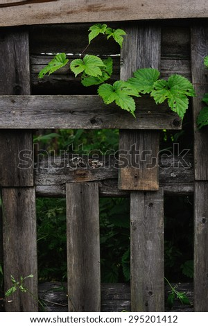 the hops leaves eaten by caterpillars near an old fence