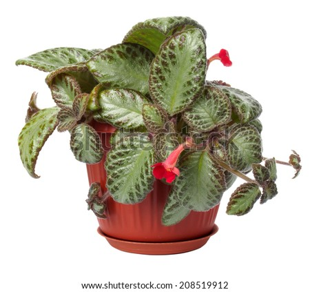 The houseplant a Koleriya is isolated on a white background - stock photo