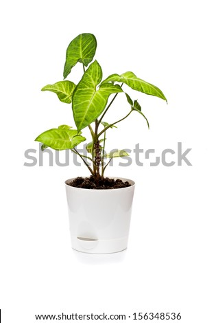 The houseplant Singonium